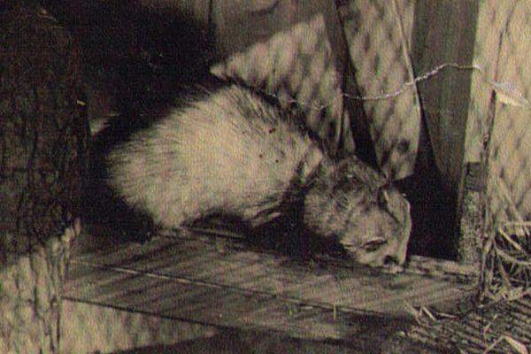 Frettchen im Tierpak Aue 1960